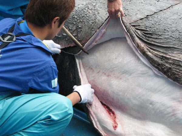 ウバザメの白い皮下組織